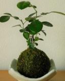 鎌倉 緑屋「凜」の苔玉づくり講座