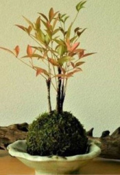 鎌倉 緑屋「凜」 ~秋の植物で苔玉づくり